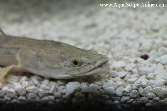 Lapradei bichir 6 8 polypterus lapradei product view for Bichir fish for sale
