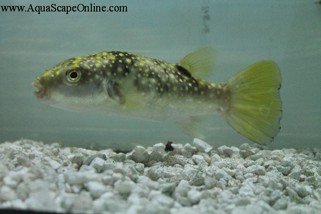 Snowflake puffer 5 arothron firmamentum product view for Puffer fish for sale