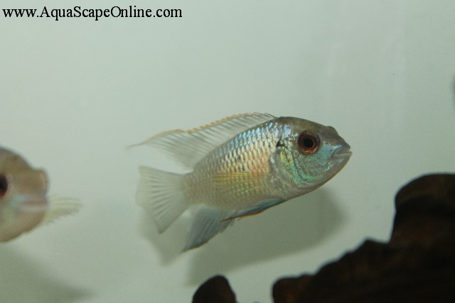 and distinctive feature of the Blue Acara is the electric, blue ...