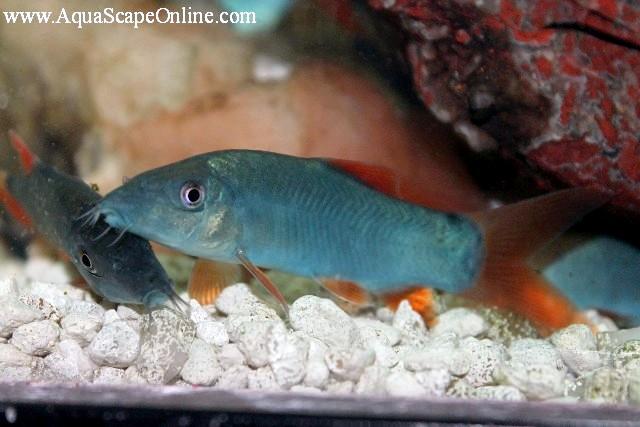 Red Tail Blue Botia 3