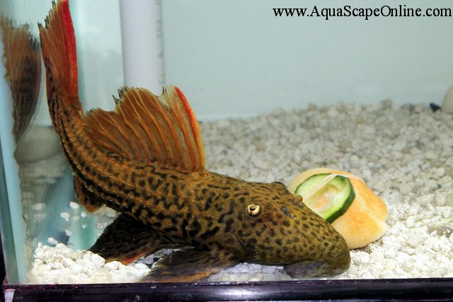 L 25 double red scarlet pleco 9 10 sao do felix for Pleco fish food