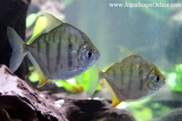 Tiger striped silver dollar 3 4 metynnis fasciatus for Silver dollar fish for sale