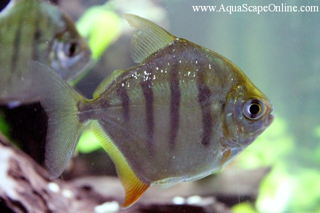 tiger striped silver dollar 3 4 metynnis fasciatus