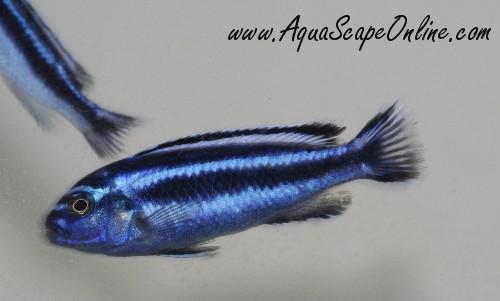 Electric Blue Johanni Cichlid Maximum size- johanni cichlid