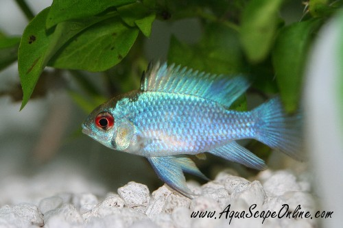 German Blue Ram With Cory Cats