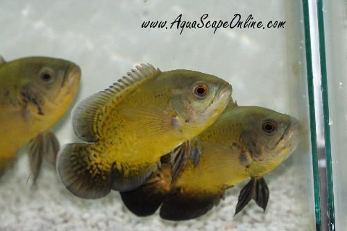 lemon oscar fish - photo #29
