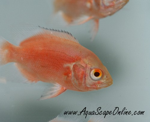 Ruby Red Oscar 3 Quot 4 Quot Astronotus Ocellatus Product View