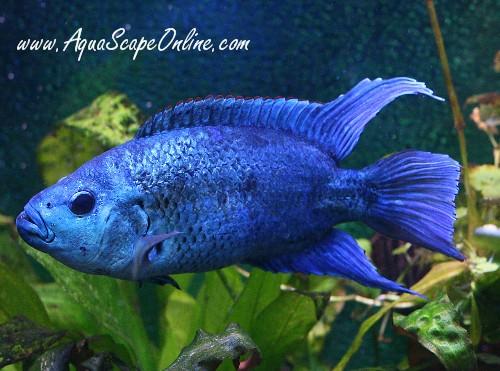 "Electric Blue Jack Dempsey 2"" (Nandopis Octofasciatus ..."
