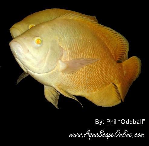lemon oscar fish - photo #15