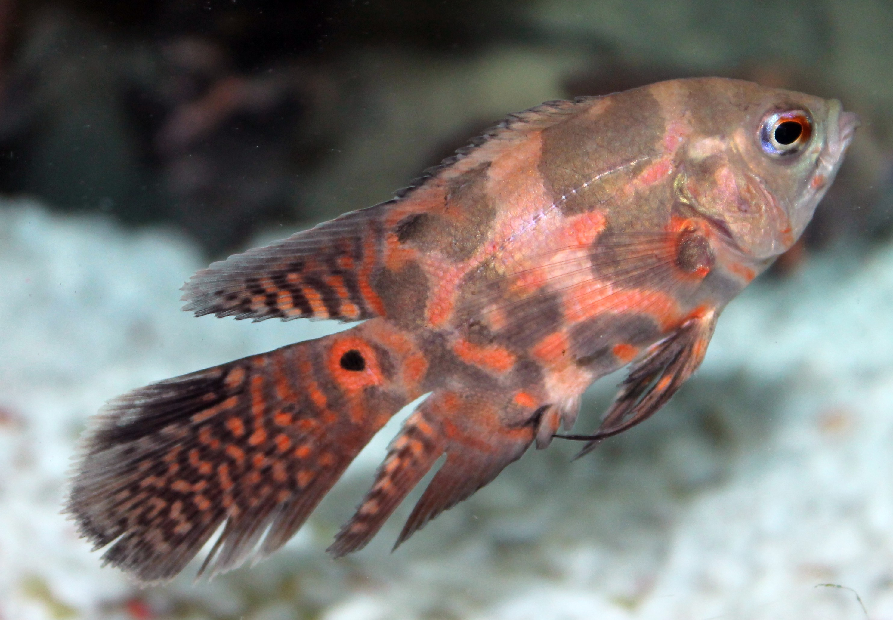 Viel tail oscar 3 4 astronotus ocellatus product view for Fish tail fin