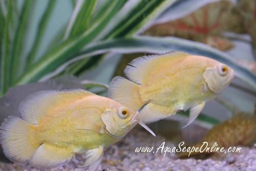 lutino oscar fish