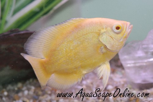 Asian Stone Catfish 420582 further Lemon Oscar 3 4 Astronotus Ocellatus besides 38431764 as well Finding Nemo Screencap likewise Fish  patibility. on oscar fish tank temperature
