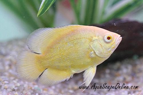 lemon oscar fish - photo #3