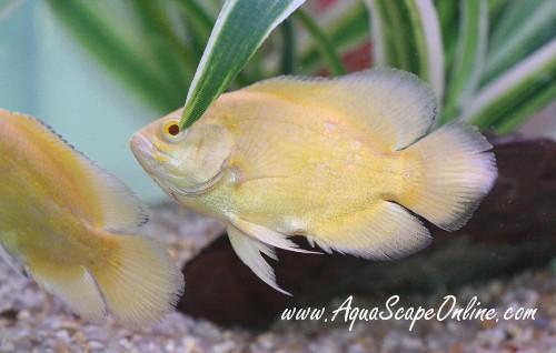 lemon oscar fish - photo #12