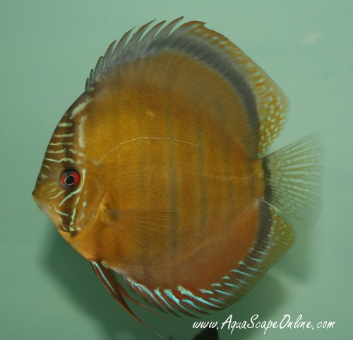 Tefe green discus 4 symphysodon aequifas product view for Discus fish for sale near me