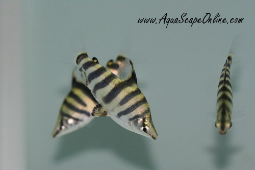 ... aggressive company abramites hypselonotus marbled headstander