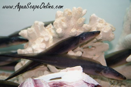 Aba aba knife 3 gymnarchus ab for Aba aba knife fish