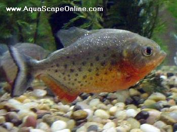 Related keywords suggestions for small piranhas for Pacu fish for sale