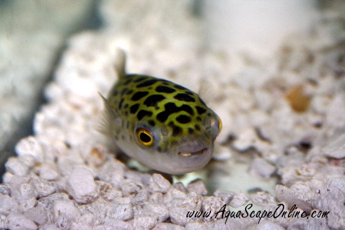 Spotted puffer 3 tetraodon nigroviridis product view for Puffer fish price