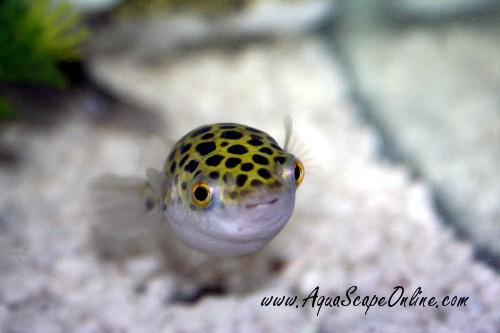 The Green Spotted Puffer does not have gill covers or scales which For ...