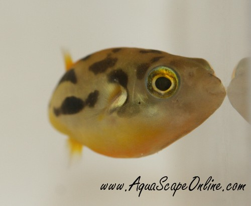 freshwater puffer fish. AquaScapeOnline We sell a wide