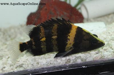 "New Guinea Datnoid 8""-9"" (Datnoides Campbelli)"