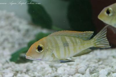 "Red Head ""Tapajos"" 5""-6"" (Geophagus Parnaibae)"