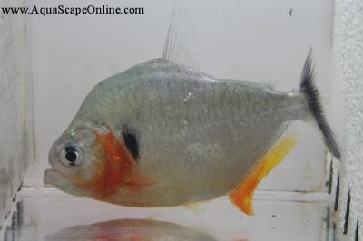 """Humeralis Piranha 5"""" (Serrasalmus Humeralis)"""