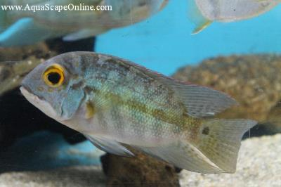 "Real Parrot Cichlid 3.5""-4.5"" (Hoplarchus Psittacus)"