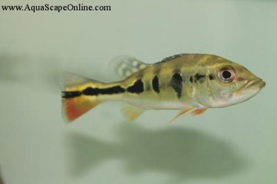 """Peacock Bass Ocellaris 2-2.5"""" (Cichla Ocellaris)"""