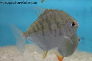 "Tiger Striped Silver Dollar 4.5"" (Metynnis Fasciatus)"
