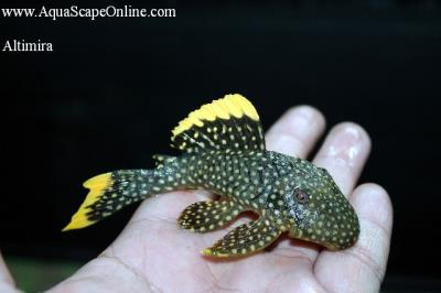 "Gold Nugget Pleco L-081 4"" ""Altimira"" (Baryancistrus sp.)"