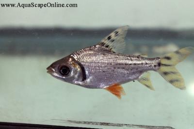 """Flagtail Prochilodus 4""""-5"""""""