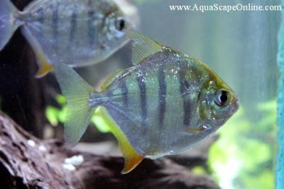 "Tiger Striped Silver Dollar 3""-4"" (Metynnis Fasciatus)"