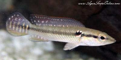 """White Spotted Pike 5""""-6"""" (Crenicichla Saxatilis)"""