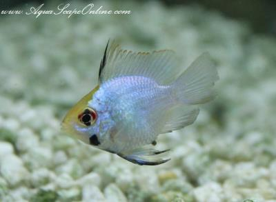 "Electric Blue Ram 1.25"" (Papiliochromis ramirezi) Short Body"