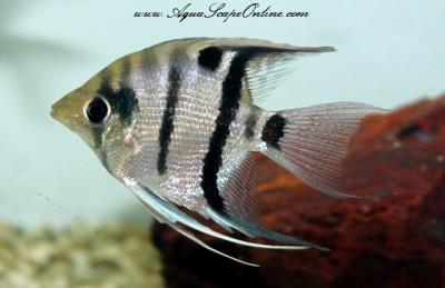 "Wild Long-nosed Angelfish 3"" (Pterophyllum Dumerilli)"