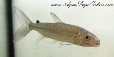 "African Tiger Fish 3""-4"" (Hydrocynus Goliath)"