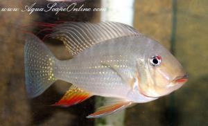 "Red Threadfin Cichlid 4.5"" (Acarichthys Heckelii sp.)"