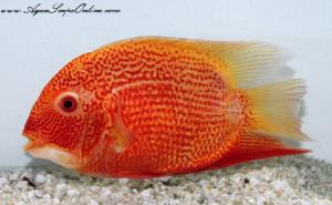 "Super Red Severums 4"" (Heros severus)"