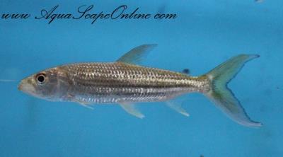 "African Tiger Fish 3""-4"" (Hydrocynus Vittatus)"