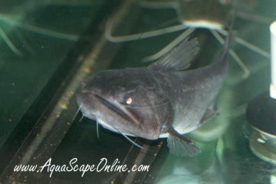 "Gulper Cat 4""-5"" (Asterophysus batrachus)"