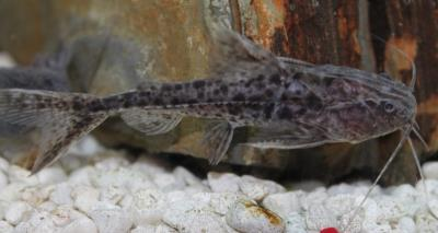"Granulated Catfish (Pterodoras Granulosus) 5""-6"""