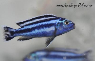 Blue Johanni Cichlid : Johanni Cichlid 2