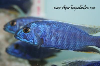 "Electric Blue Peacock 5"" (Haplochromis ahli)"