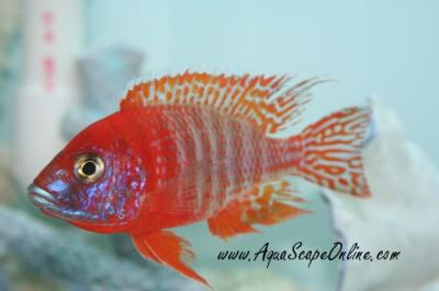 Red Peacock Cichlid 4""