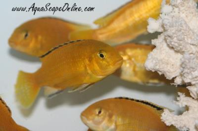 "Yellow Labs 2""  (Labidochromis caeruleus)"