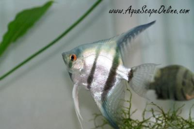 """Blue Angel Fish 2""""-3"""" (New Color)"""