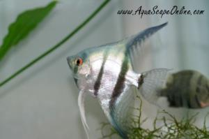 "Blue Angel Fish 2""-3"" (New Color)"