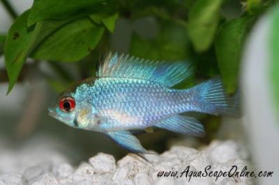 "Electric Blue Ram 1"" (Papiliochromis ramirezi)"